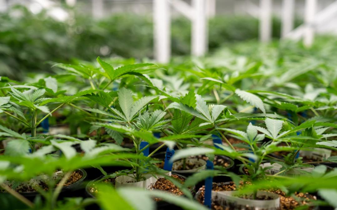missouri medical marijuana plants