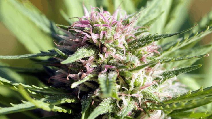 medical marijuana card sales