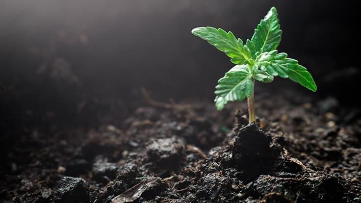 missouri medical marijuana cannabis plant seed soil